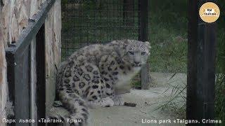 Барс Красава приняла угощение. Тайган The snow leopard Krasava took the treat.