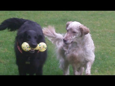 English Setter Otis & Flat Coat Retriever Merry playing.