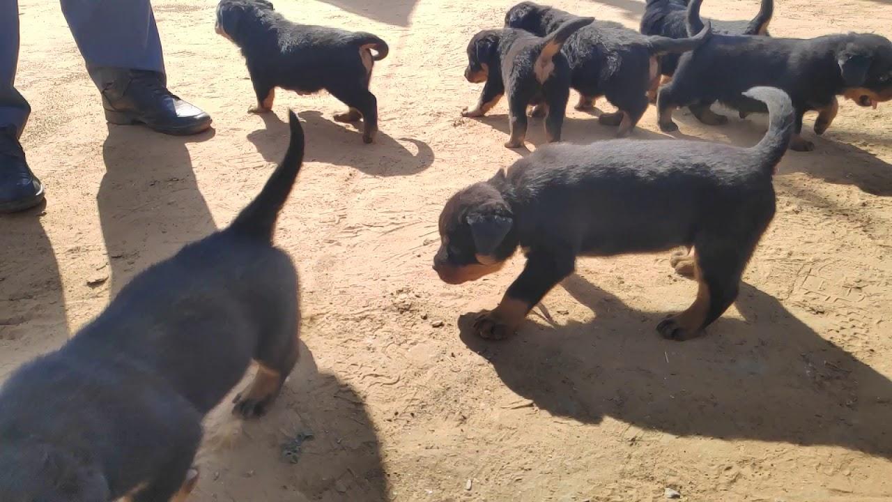 Rottweiler Dog Price In Pune