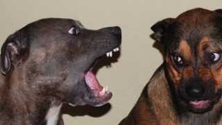 Various Barks And Other Dog Sounds Guaranteed to Make Your Dog Go Crazy! 2 Hours Long!
