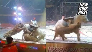 Brutal video of lion and tiger sinking their teeth into a horse at the circus   New York Post thumbnail