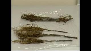 Привитие саженцев и оценка семян с помощью рентгеновского оборудования ЭЛТЕХ-Мед(, 2016-02-16T13:40:36.000Z)