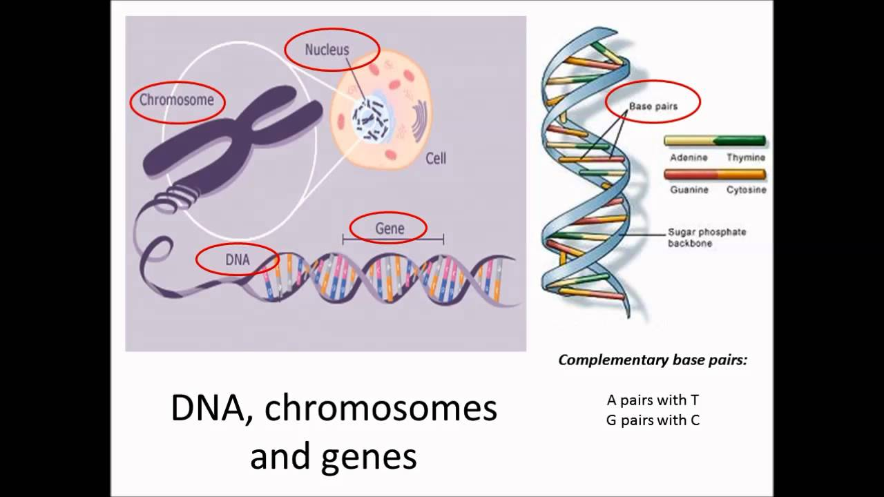 DNA, chromosomes and genes - YouTube