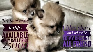 Toy pom top quality male puppy available price only 25000 only call 7357 655 281 dog market