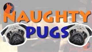 LOL: Watch these funny, naughty Pugs