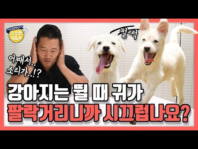 [Eng sub] Isn't it noisy for dogs when they run  because their ears flap about? |Hunter Kang's Q&A