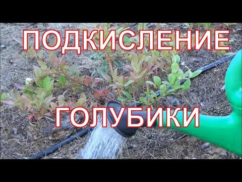 Уход за голубикой садовой - Голубика в Беларуси