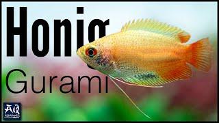 Honigguramis im 60cm Aquarium …