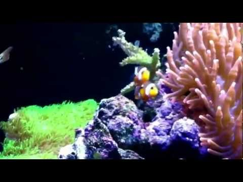 Clown Fish Courtship Behavior