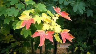 ''Я влюбился в осень...'' (стихотворение В. Гаазова)
