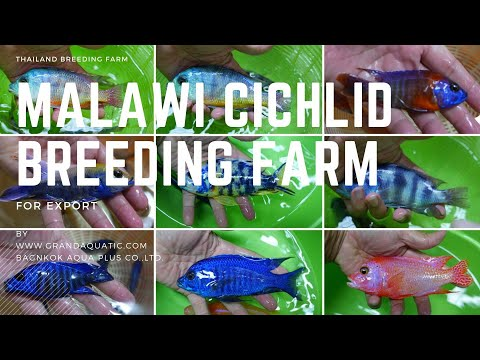 Malawi Cichlid Fish For Sale And Export From Breeding Farm In Thailand.