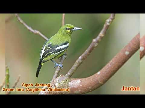 Macam Macam Burung Cipoh Sirtu Sirdung Ioras Aegithinidae Youtube
