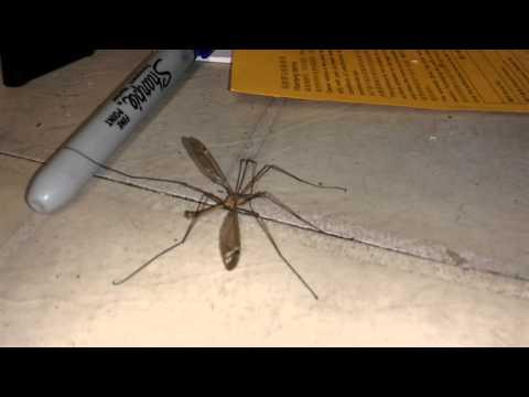 OMG! Mosquito Hawk! EEEK Get it off! Get it off! - version 2