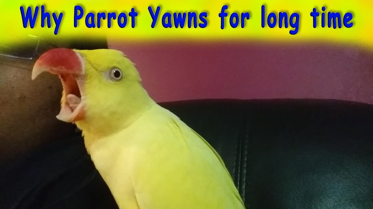 Image result for Why Does My Parrot Yawn?