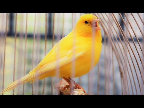 Yellow Canary singing video - Serinus canaria - Canary Training Song 25 min-Your canary will sing!