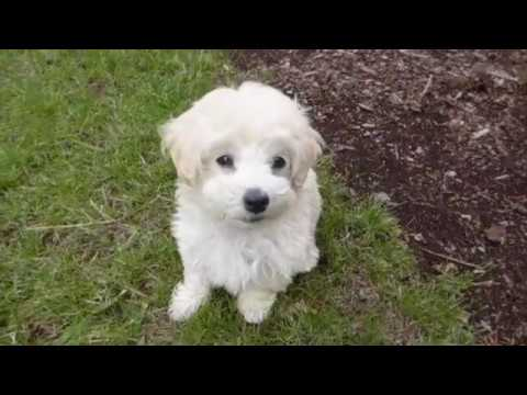 The Cutest 8 weeks old Maltipoo Leash Training in 4 days | Toy Poodle & Maltese Puppy