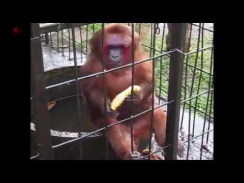 Ghetto Monkey Eats Bananas (Clean)