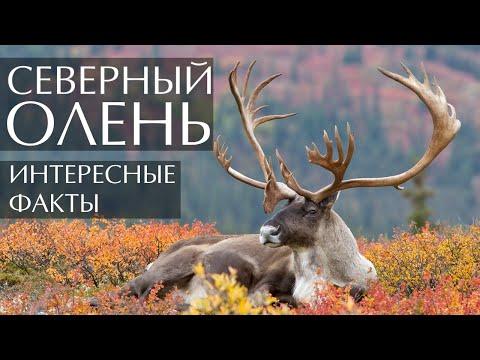 Северный олень интересные факты