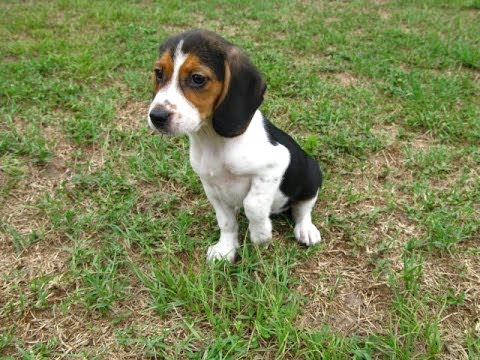 Beagle, Puppies, Dogs, For Sale, In Jackson, Mississippi ...
