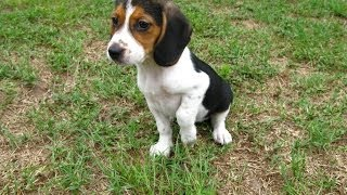 Beagle, Puppies, For, Sale, In, Jackson, Mississippi, Ms, Clinton, Pearl, Horn Lake