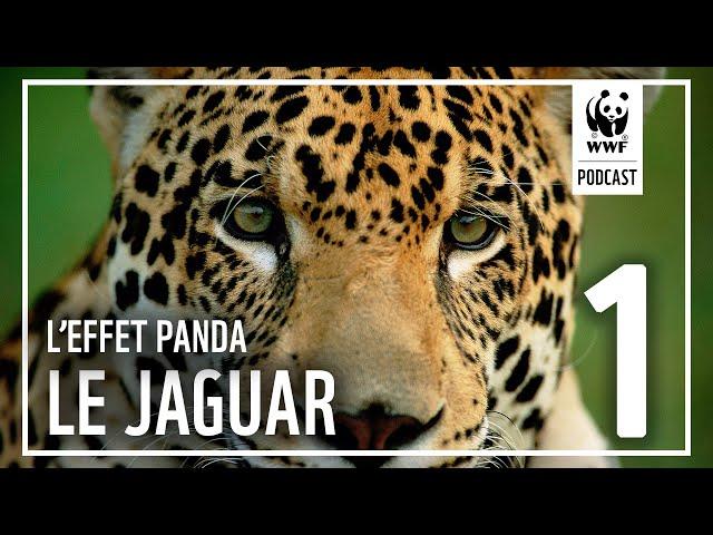Épisode 1 : À la rencontre du jaguar en Guyane | L'Effet Panda : un podcast WWF