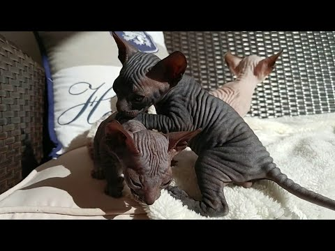 Cute sphynx kittens playing on the sun for the very first time | 30 days old | DonSphynx