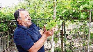 Вкусная, сочная толма из свежих листьев винограда, приготовленная на мангале. Рецепт от Жоржа