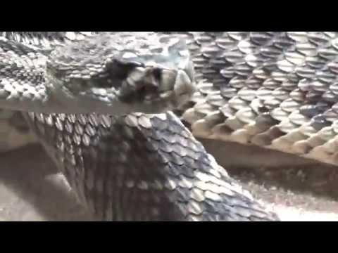 עכסן גב יהלום מערבי Eastern Diamondback Rattlesnake (Crotalus adamanteus) Prague Zoo
