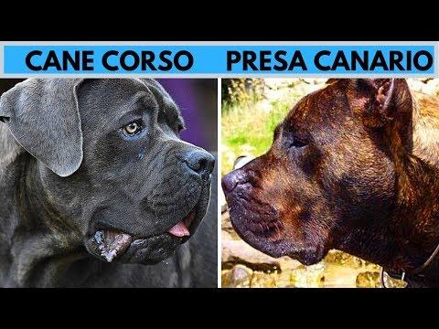 Cane Corso vs Presa Canario Facts and Difference