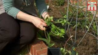 How To Sow And Grow Sweet Peas Video With Thompson & Morgan.