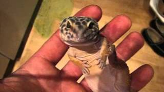 Relaxed leopard gecko Handling video #13