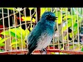 Burung Selendang Biru Sitron Gacor Dan Suara Air Gempricik  Mp3 - Mp4 Download