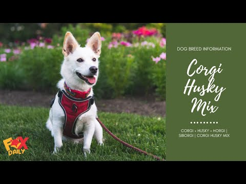 Corgi Husky Mix | Siborgi | Horgi