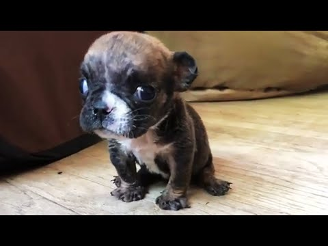 Teeny Tiny Bulldog Won't Stop Talking - Was Surrendered Because So Tiny and Cannot Walking