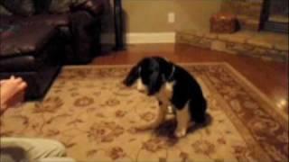 English Springer Spaniel - Play Dead Trick