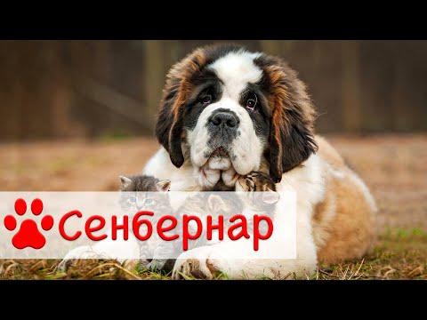 Сенбернар   Все о породе собак Сенбернар