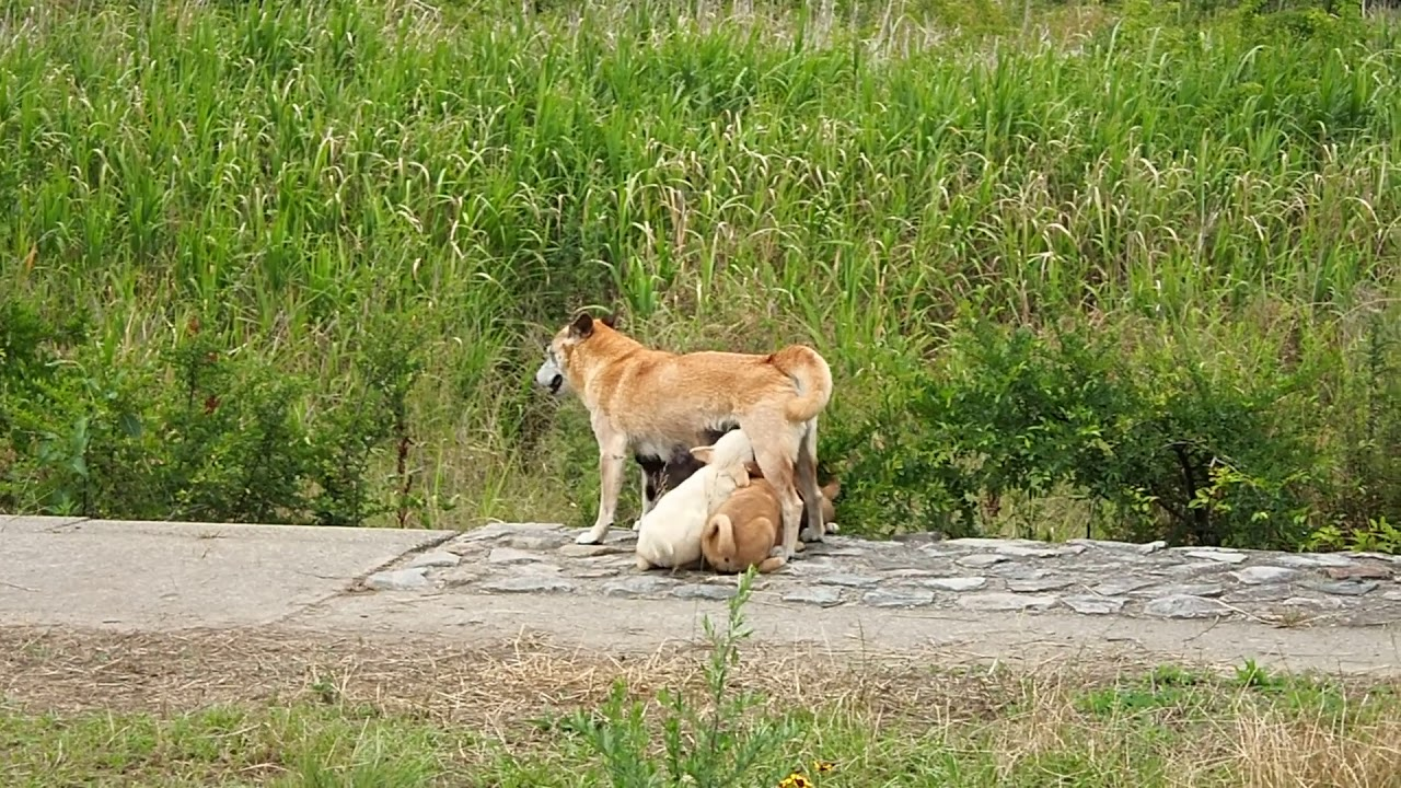 子犬にお乳を与える野良犬