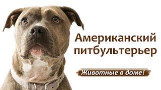 Питбуль (американский питбультерьер) - породы собак.