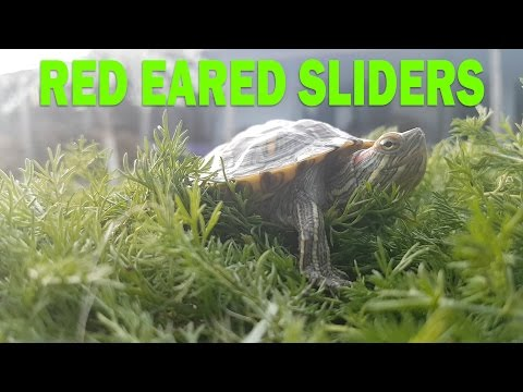 Red Eared Sliders - Everything You Need To Know