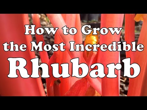 How To Grow The Most Incredible Rhubarb 🌱 Forcing