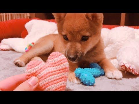 柴犬(豆柴)みかん|のんびりとした子犬の一日