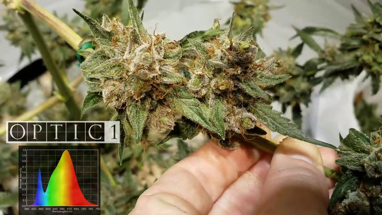 Optic 1 Cob Led Autoflower Harvest 54 Watts Of Cree