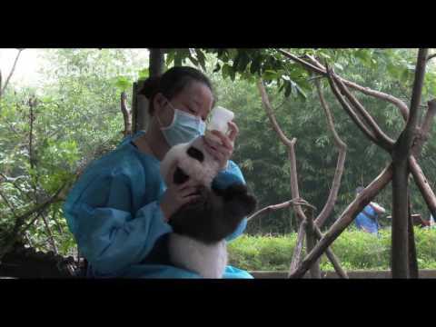 Keeper feeds panda cub milk