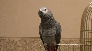 Говорящий попугай Жако