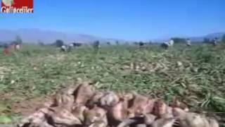 Erzincan Merkez Güllüce Köyü Şeker Pancarı Tarlası ve İşçilerimiz