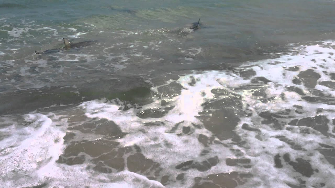 Sharks in ponce inlet youtube for Ponce inlet fishing