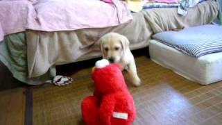 10月23日生のPino(ラブラドール)が、くすぐりエルモと遊んでいます。