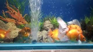Cara paling simple dan jitu untuk membasmi kutu pada ikan maskoki