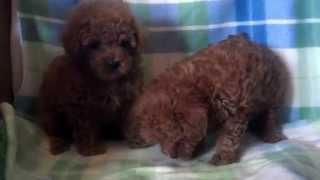 Ladybug/mavrick Red Teddy Bear Poodles