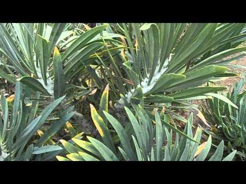 VERODE: Kleinia neriifolia (www.riomoros.com)